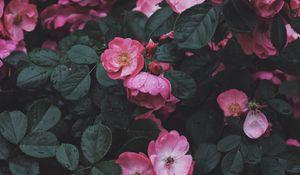 Preview wallpaper wild rose, rose, bush, blossom