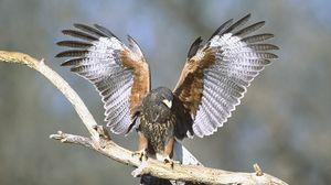 Preview wallpaper wings, bird, hawk, branch