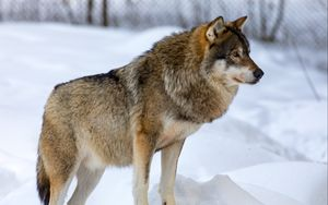 Preview wallpaper wolf, animal, predator, snow, winter