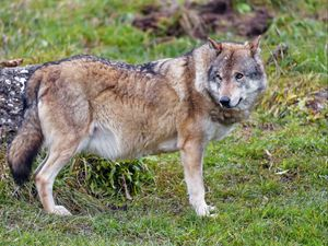 Preview wallpaper wolf, animal, predator, wildlife, glance