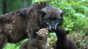 Preview wallpaper wolf, family, babies, care, color