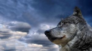 Preview wallpaper wolf, muzzle, dog, sky, view, meditation