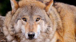 Preview wallpaper wolf, predator, lie, muzzle, family dog