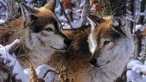 Preview wallpaper wolves, couple, predators, loyalty, affection