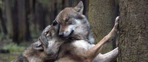 Preview wallpaper wolves, game, forest
