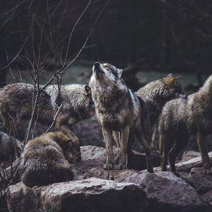 Preview wallpaper wolves, predators, flock, wildlife, gray, howl