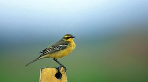 Preview wallpaper yellow, bird, background, stand