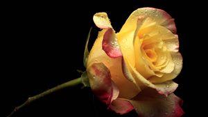 Preview wallpaper yellow, flower, flowers, petals, rose, pink