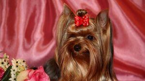 Preview wallpaper yorkshire terrier, silk, ribbon, roses