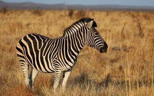 Preview wallpaper zebra, animal, field, grass, wildlife