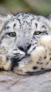 Preview wallpaper snow leopard, big cat, leopard