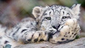 Preview wallpaper snow leopard, big cat, leopard