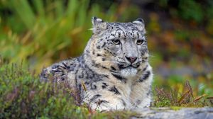 Preview wallpaper snow leopard, big cat, predator, glance, spots