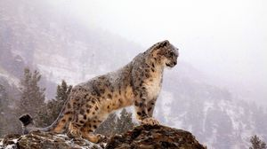 Preview Wallpaper Snow Leopard Top Big Cat Predator