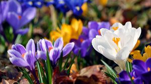 Preview wallpaper snowdrops, colorful, flowers