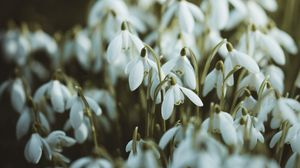 Preview wallpaper snowdrops, white, flowers, spring
