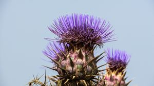 Preview wallpaper spanish artichoke, plant, flower