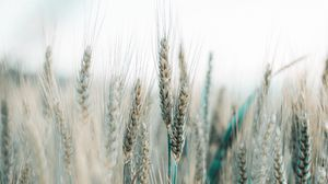 Preview wallpaper spikelets, wheat, field, grains, cereals