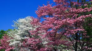 Preview wallpaper spring, trees, flowering, pink, white, flowers