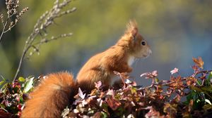 Preview wallpaper squirrel, animal, foliage