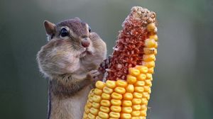 Preview wallpaper squirrel, food, corn