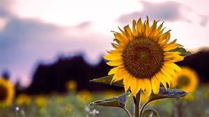 Preview wallpaper sunflower, bloom, field, grass