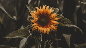 Preview wallpaper sunflower, flower, leaves