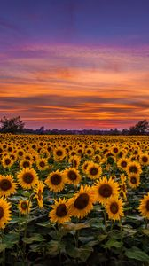 ... Preview wallpaper sunflowers, field, sunset, sky, clouds
