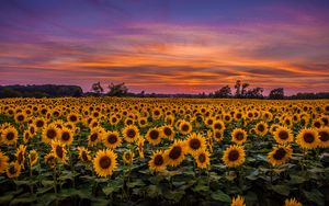 Preview wallpaper sunflowers, field, sunset, sky, clouds