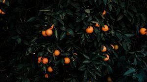 Preview wallpaper tangerines, bush, fruits, citrus, plant