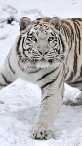 Preview wallpaper tiger, albino, snow, winter
