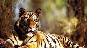 Preview wallpaper tiger, autumn, foliage, lie