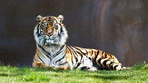 Preview wallpaper tiger, grass, lie, predator