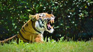 Preview wallpaper tiger, predator, grin, profile