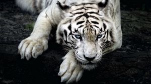 Preview wallpaper tiger, white tiger, predator, glance, paw