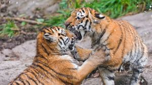 Preview wallpaper tigers, couple, fight