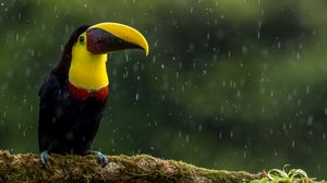 Preview wallpaper toucan, bird, beak, color, branch, exotic