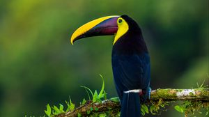 Preview wallpaper toucan, bird, exotic, branch, beak, color