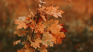 Preview wallpaper tree, maple, autumn, leaves, dry