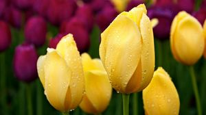 Preview wallpaper tulips, buds, drops, different, herbs