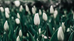 Preview wallpaper tulips, flowers, white, flowerbed, blooms, spring