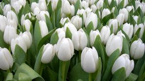 Preview wallpaper tulips, flowers, white, spring, beauty, herbs