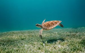 Preview wallpaper turtle, sea, water, bottom, algae