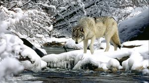 Preview wallpaper water, river, snow, spring, wolf