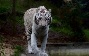 Preview wallpaper white tiger, tiger, predator, big cat
