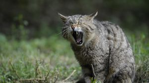 Preview wallpaper wild cat, screaming, aggression
