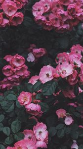 Preview wallpaper wild rose, rose, bush, blossom