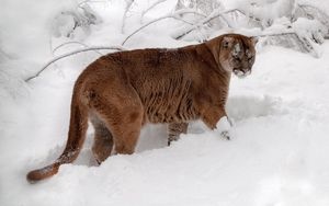 Preview wallpaper winter, snow, forest, predator, cougar