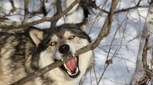 Preview wallpaper wolf, branch, teeth, dog, predator