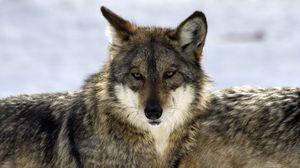 Preview wallpaper wolf, glance, predator, beast, wildlife